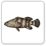 Highland Beach grouper