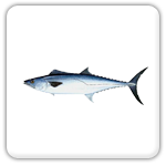 Plantation Key kingfish