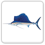 Plantation Key sailfish