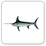 Plantation Key swordfish