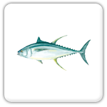 Plantation Key tuna
