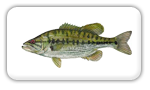 fish-spotted-bass