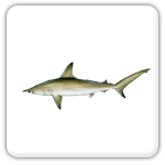 tavernier Key shark